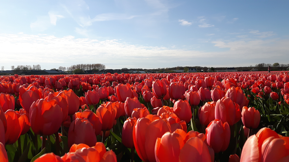 Tulip fields in South Holland, the Netherlands