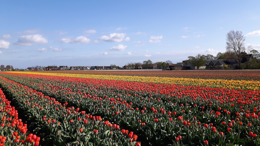 Red and yellow tulips in South Holland, the Netherlands